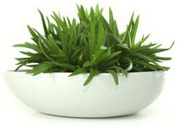 Aloe Vera plant heeft helende werking